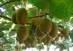 Kiwifruit PSA
