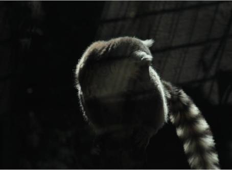 Lémur entre las sombras
