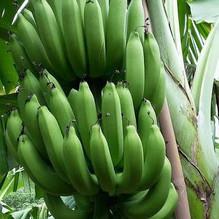 กล้วยหอมทอง พืชทางเลือกใหม่ของเกษตรกร #พันธุ์กรอสมิสเชล พร้อมให้คำแนะนำจนถึงระยะเก็บเกี่ยว
