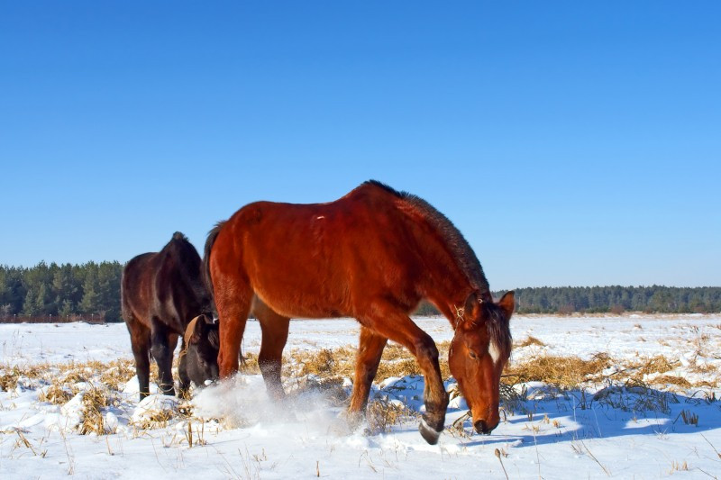 Horse walking though a snowy pasture