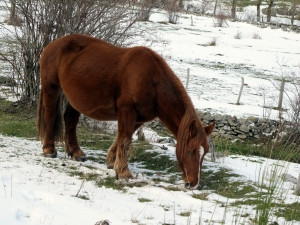 Horse attempting to graze in a snowy pasture