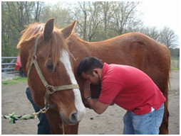 Listening to a horse's heart rate