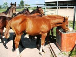 Fluid Balance in the Horse
