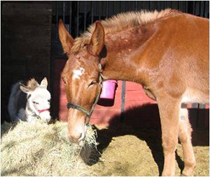 A donkey and a mule sharing hay
