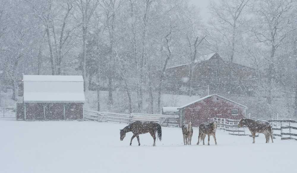 Horses outdoors during a snow storm