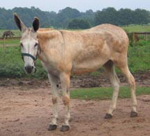Donkey with unusual fat deposits over body