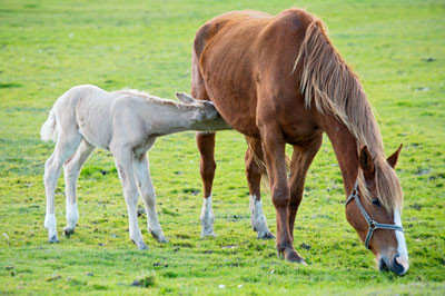 Foal nursing from its mother