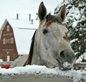 Horse sticking head over a snowy fence