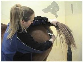 Horse having temperature taken rectally