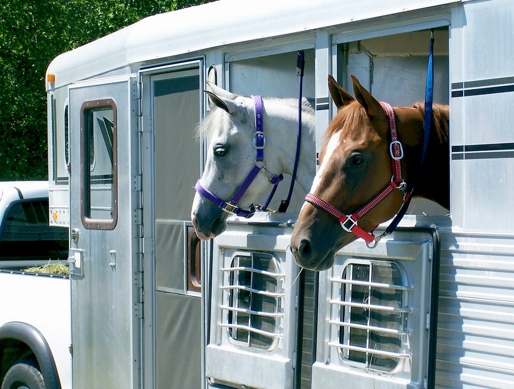 Two horses with their heads out of a trailer
