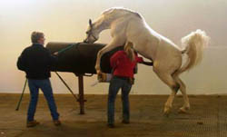 Stallion mounting a jump dummy so his semen can be collected