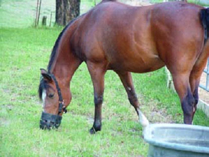 Horse with a grazing muzzle on