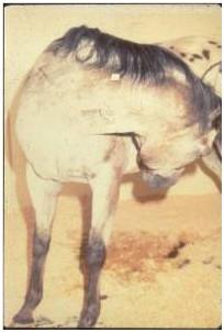 Horse biting at its sides
