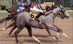 Quarter horses during a race