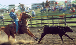 Roping event where the rider is lassoing a steer