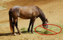 Horse eating hay from the ground