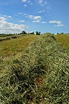 cut_hay.jpg