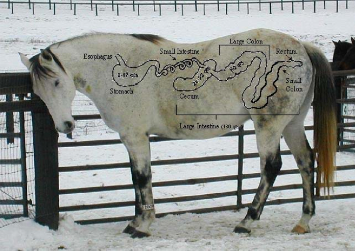 Horse standing near a fence with digestive tract diagram overlaid on top