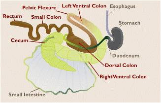 Diagram of an equine intestinal tract