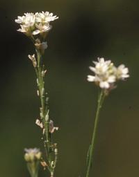 Hoary alyssum