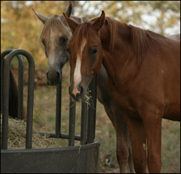 Horses eating from a hay feeder