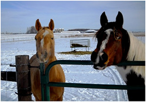 Two horses standing at a gate