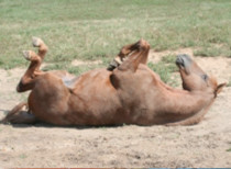 Horse rolling on the ground