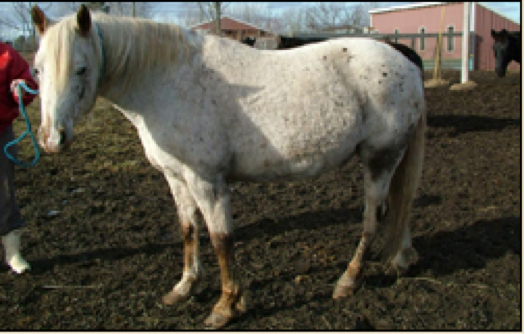 Obese horse standing in a field