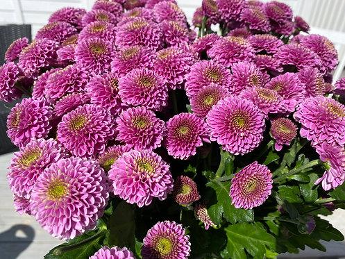 Chrysanthemum, 3pk