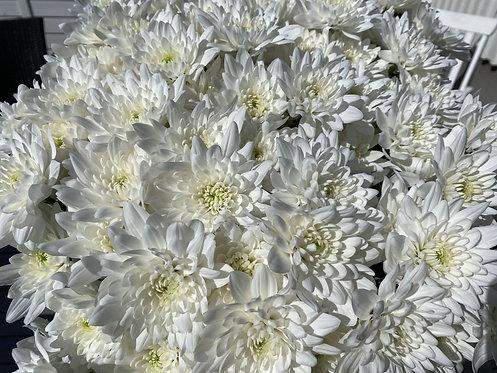 Hvite chrysanthemum, 3 stk