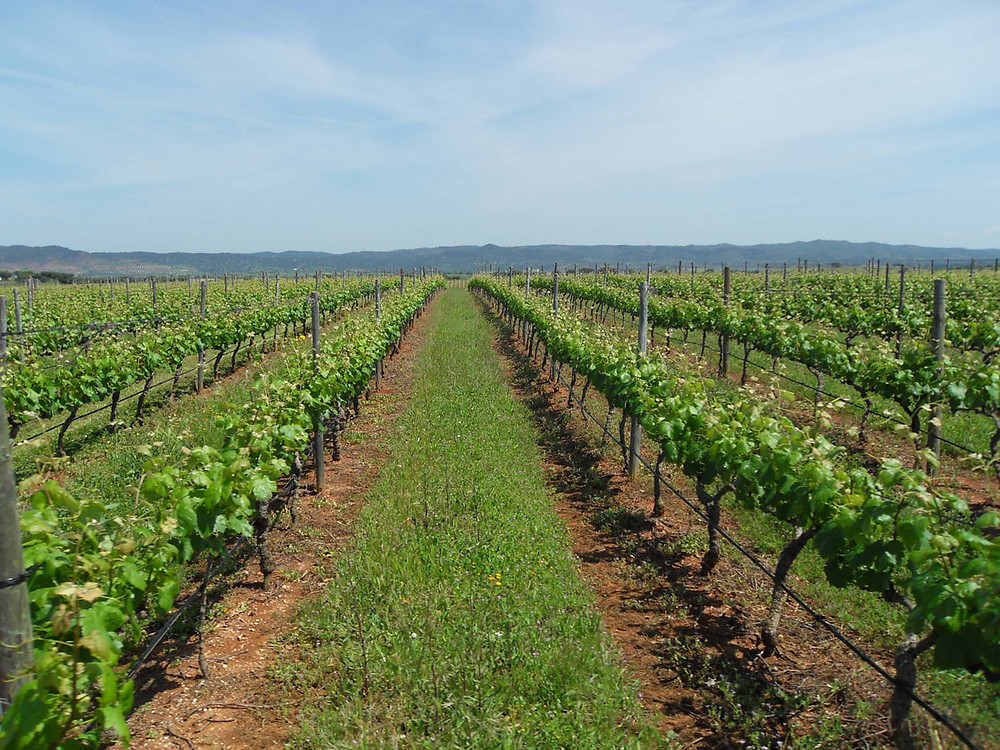 Vineyard in Alentejo Portugal