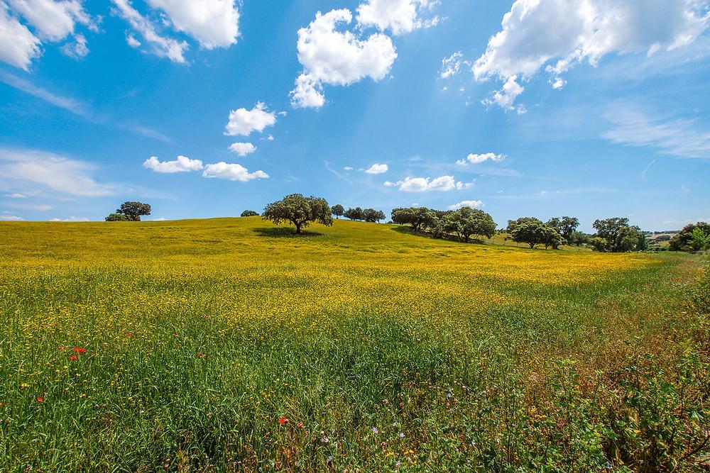 Landscape green olive trees in Alentejo Portugal