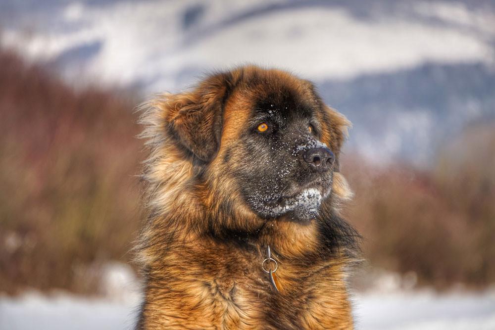"This region also has its own breed of shepherd dogs: the beautiful ""Serra da Estrella dog"""