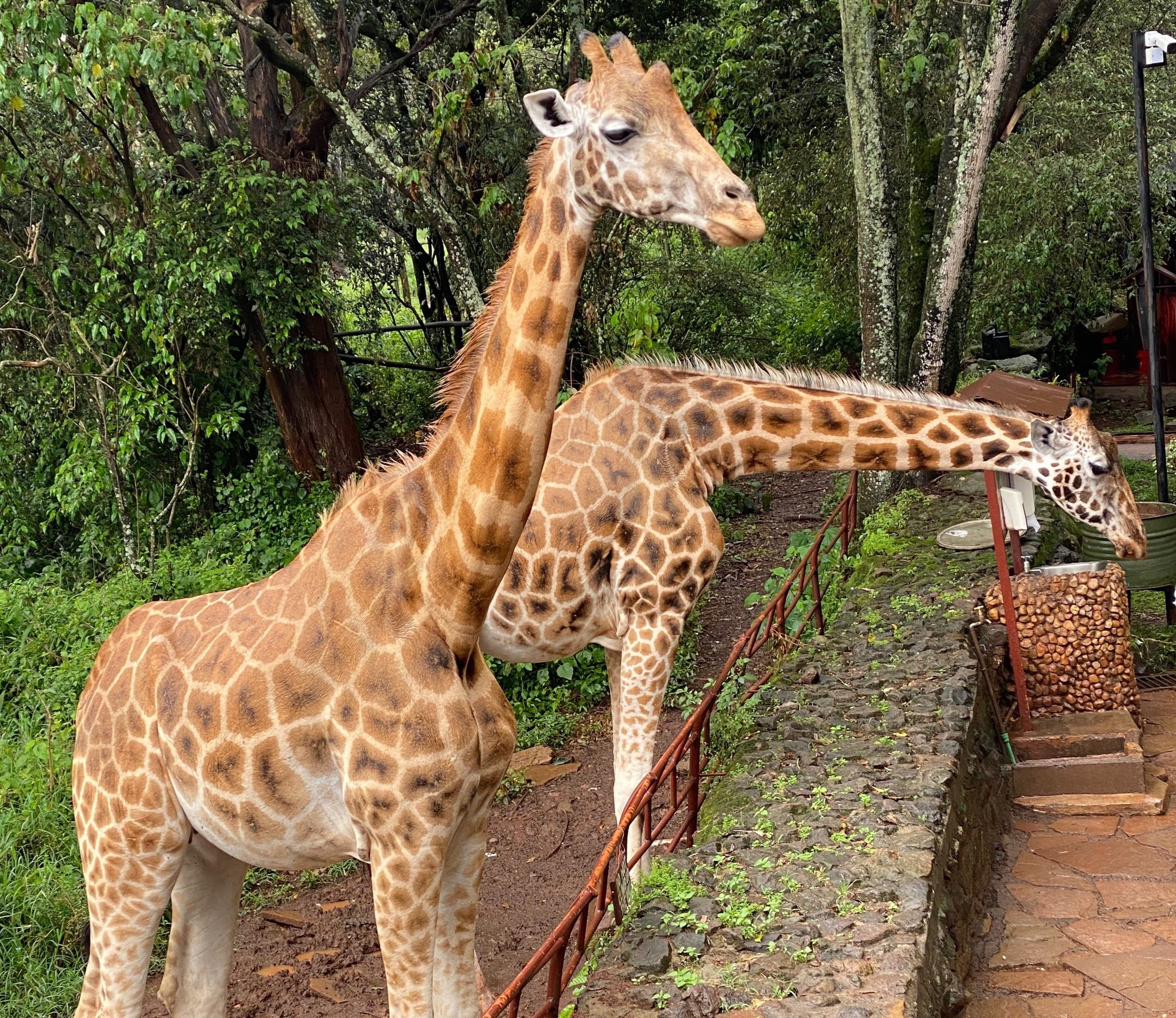 DARAJA-GiraffeConservancy_edited