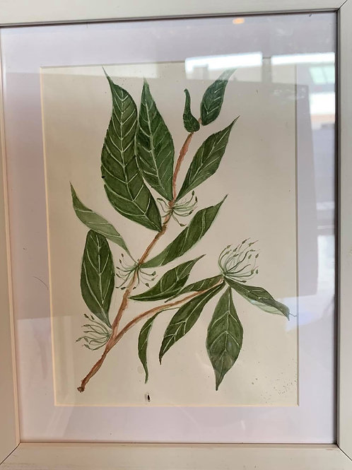 Dodonaea Triquetra