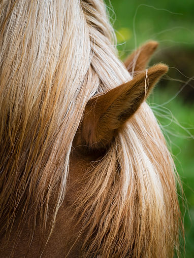 the-groomed-mane-of-an-icelandic-horse-L