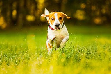 happy-dog-running-through-a-green-vivid-