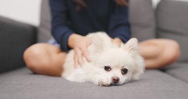 woman-massaging-on-her-pomeranian-dog-on