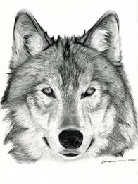 damien-linnane-wolf.png