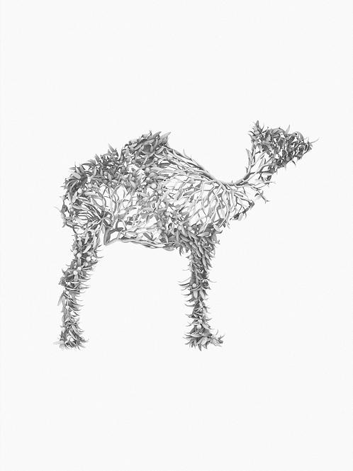 Santalum acuminatum x Camelus dromedarius (Camel)