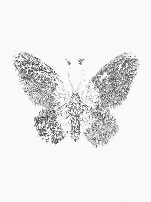 Pararistolochia praevenosa x Ornithoptera richmondia (Butterfly)