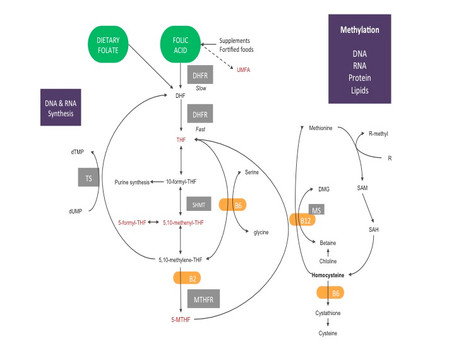 Introduction to MTHFR and methylation
