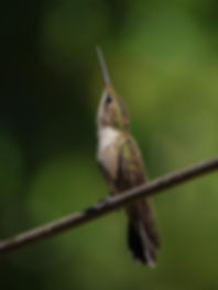 First year male Ruby-throated hummingbird assessing threats
