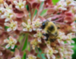 Bumblebee on a flower. Bumblebee enjoys native Yarrow