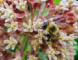 Bumblebee on a flower. Bumblebee enjoys native Yarrow