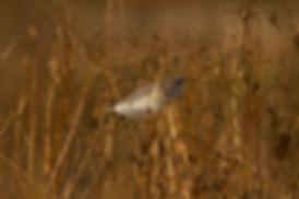 Barn Owl Feather Prnt