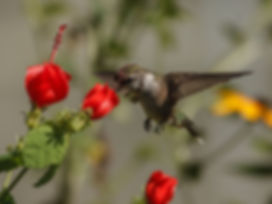 hummingbird-pollenating-turks-cap.jpg