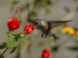 hummingbird-pollenating-turks-cap.jpg