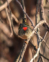 Ruby-crowned kinglet is an angry bird raisng his mohawk