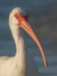 White Ibis seems to smile for the camera whie foraging on the beach - Sanibel, FL